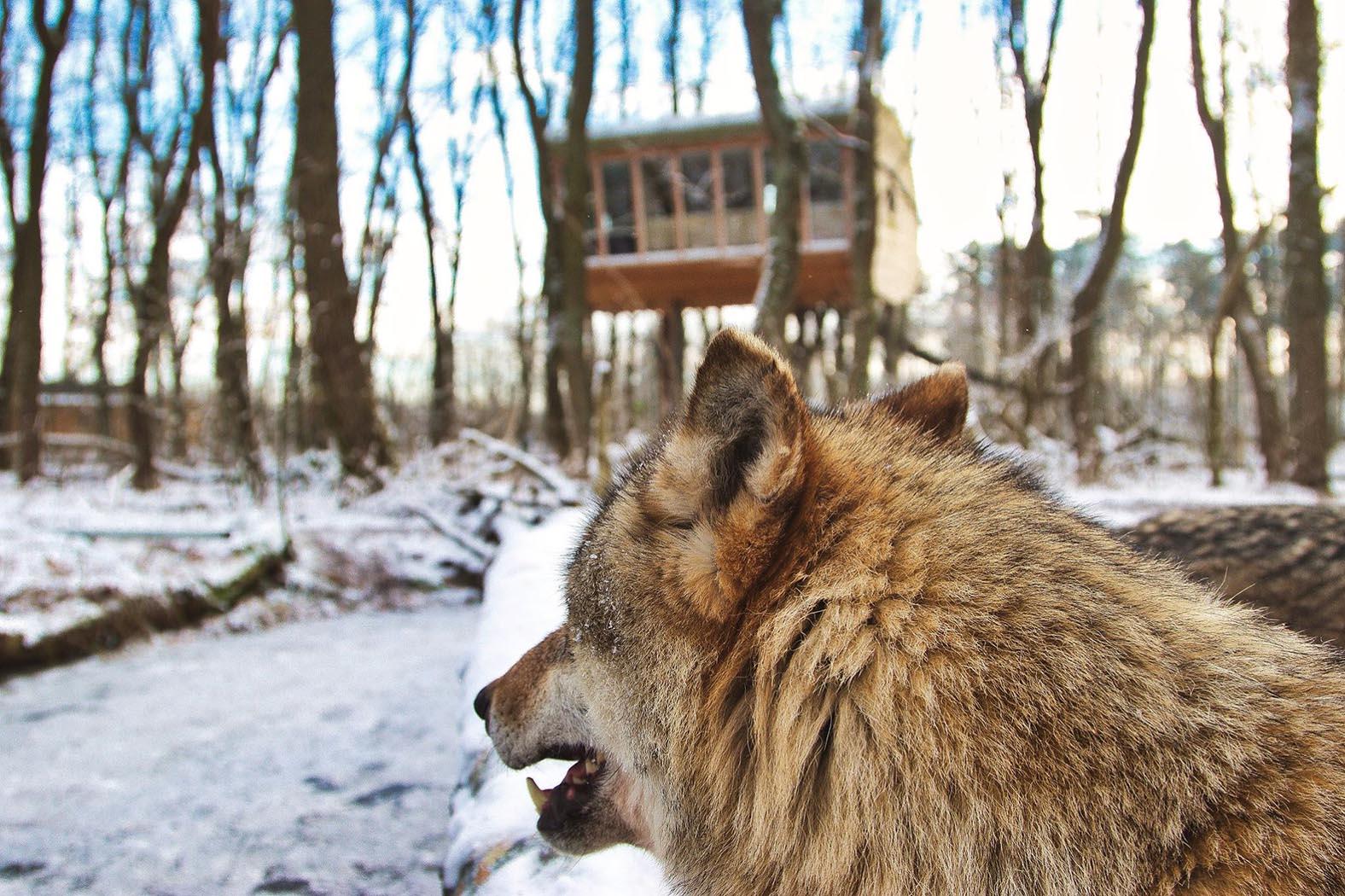 Glampen in Niedersachen: Über einem Wolfsgehege im TreeInn