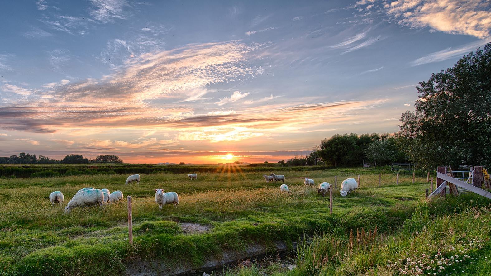 Schafweide in Niedersachsen