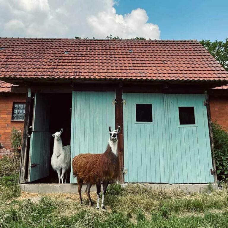 Alpakas stehen vor dem Stall