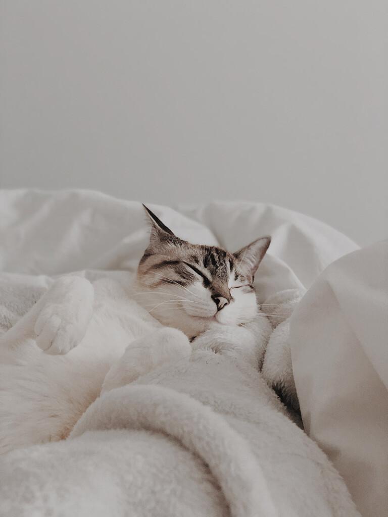 Weisse Katze schlaeft in weisser Bettwaesche
